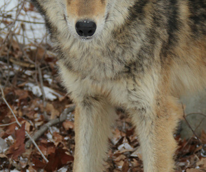 animal, wolf, and red wolf image