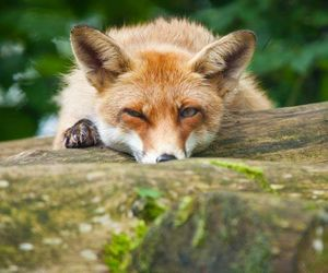 animals, nature, and red fox image