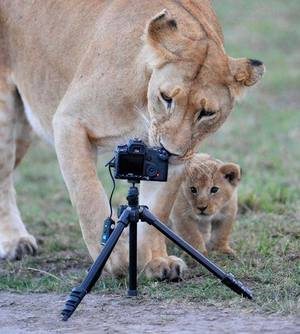 lions, photography, and cute image