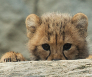 animal, baby, and cheetah image