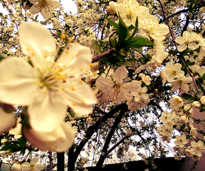 cherry blossom, tree, and flower image