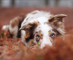 dog and border collie image