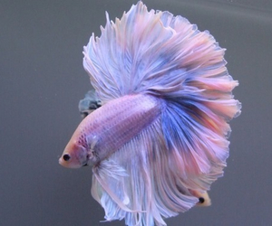 beauty, colorful, and fish image