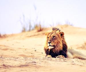 lion sur la plage image