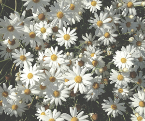 daisy, flowers, and tumblr image