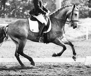 b&w, equestrian, and horse image