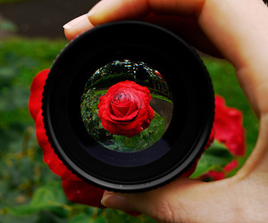 rose, photography, and flowers image