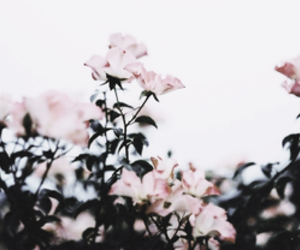 flowers, pink, and header image