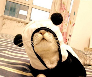 beautiful, panda, and cat image