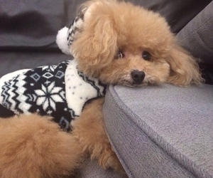 adorable, moody, and poodle image
