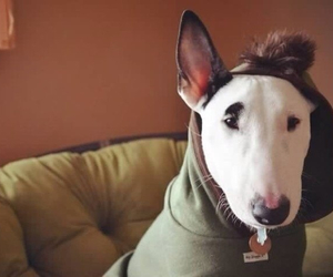 animal, bull terrier, and clothing image