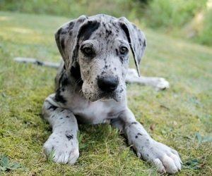 puppy, cute, and great dane image