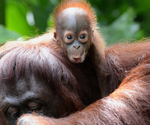 baby, orangutan, and mommy's back image