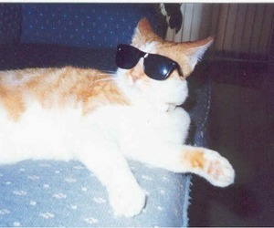 cat, sunglasses, and cool image