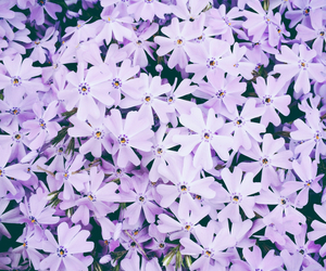 flower, purple, and spring image