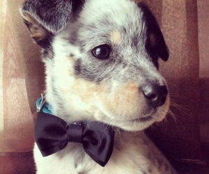adorable, bow tie, and puppie image