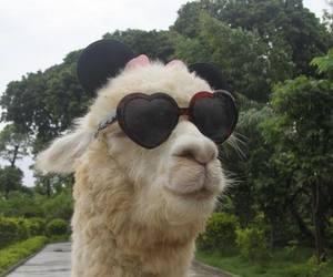 animal, llama, and funny image