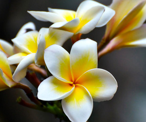 flowers and plumeria image