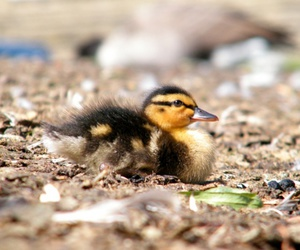 animal, color, and duck image