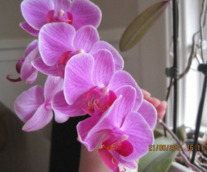 orchid and pink image