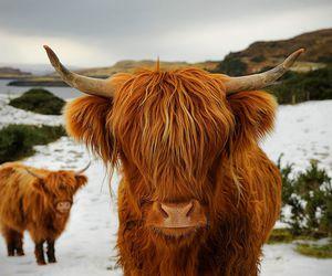 تفسير الجاموس و البقر في المنام و رؤيا الثور في الحلم