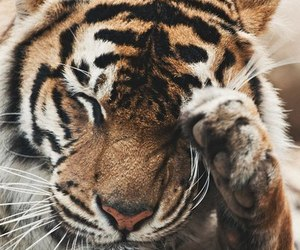 adorable, tiger, and animals image