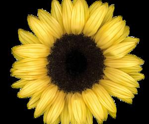 sunflower, overlay, and flowers image