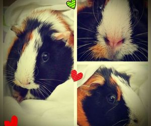 best friend, love, and guinea pig image