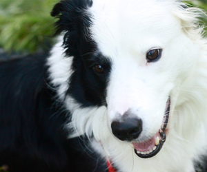 border collie, dog, and happy image
