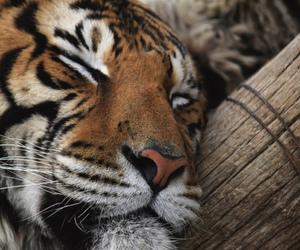tiger, theme, and animal image