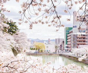 cherry blossoms, flowers, and white image