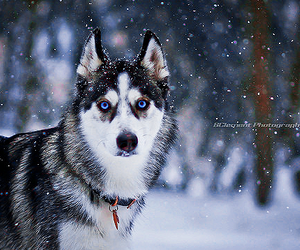 dog, husky, and beautifu image