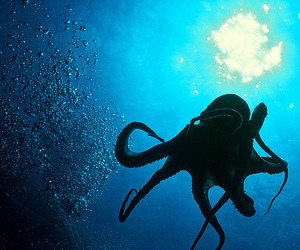 octopus, sea, and ocean image
