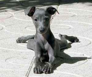 italian greyhound, puppy, and cute image