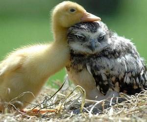 owl, duck, and animal image
