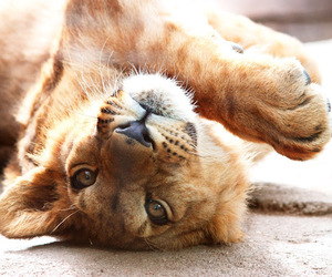 beautiful, lion, and paws image