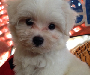 maltese, pet, and puppy image