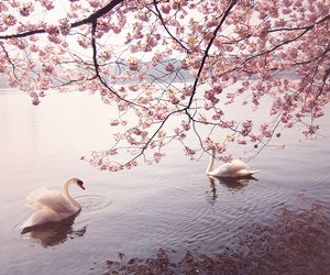 pink, Swan, and nature image