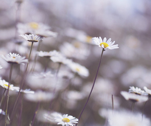 colors, daisies, and daisy image