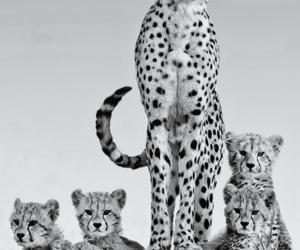 animal, cheetah, and cute image