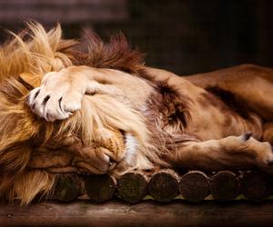 lion, animal, and sleep image