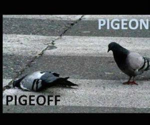 pigeon and pigeoff image