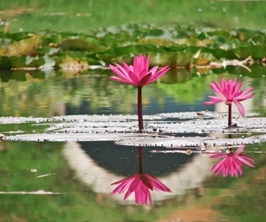 flower, reflection, and water image