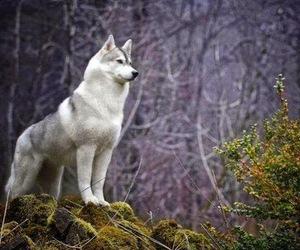 wolf, animal, and husky image