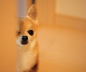 chihuahua, puppy, and cute image