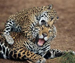 animals, jaguar, and wild image