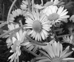 black & white, daisy, and summer image