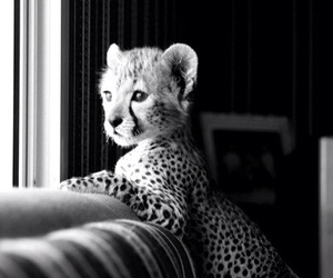 cute, animal, and cheetah image