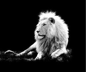 lion, wallpaper, and animal image