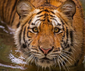 animals, tiger, and wild image